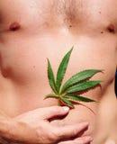 Hanfblatt des Hanfs vor dem hintergrund eines männlichen Körpers Stockbilder