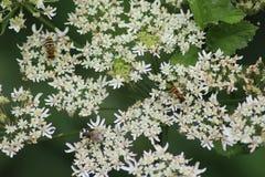Hang de nectar van de vliegeninzameling Royalty-vrije Stock Afbeeldingen