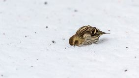 Hang on, I'll have a look ... a small Pine Siskin finch (Carduelis pinus)  looks for seeds. Royalty Free Stock Photos