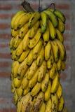 Hang mature bananas group outdoors Royalty Free Stock Images