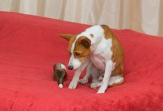 Hang-over state of a poor basenji Stock Photo