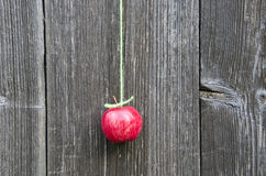 Hang red fresh apple on green string on wooden wall Stock Images