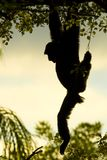 Monkey hanging from tree Stock Photography