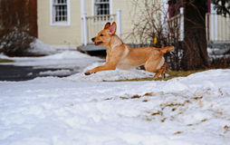 Hang time as the dog plays and leaps as she plays Royalty Free Stock Photography