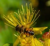 Hang vlieg op gele bloem Royalty-vrije Stock Afbeeldingen