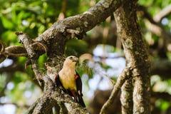 Hangbird en un árbol Tarangire, Tanzania Foto de archivo