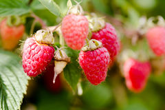 Hanged on bench growing red juicy raspberries in close up shot Royalty Free Stock Images