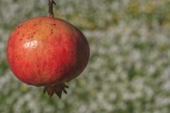 Hanged pomegranate Royalty Free Stock Images