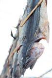 Hanged a salé des poissons (bonito, alalunga de Thunnus) Images libres de droits