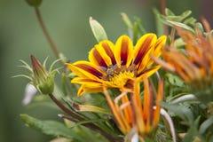 Hangen-vlieg in bloem Stock Foto's