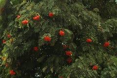 Hangende bossen van lijsterbes op een tak Royalty-vrije Stock Afbeelding