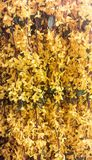 Hangende Gele Bloemen Royalty-vrije Stock Afbeeldingen
