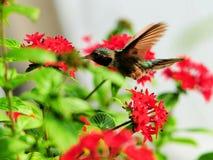 Hangende Kolibrie stock afbeeldingen