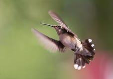 Hangende kolibrie Royalty-vrije Stock Afbeeldingen