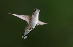 Hangende kolibrie Stock Fotografie
