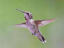 Hangende kolibrie Stock Foto's