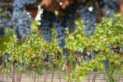 Hangende organische wijndruiven, Californië Royalty-vrije Stock Foto