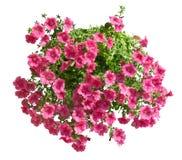 Hangende pot met roze geïsoleerde altheabloemen Stock Foto's