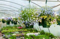 Hangende potten van bloemen in serre Royalty-vrije Stock Foto's