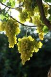 Hangende witte druiven Stock Foto's