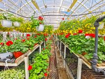 Hangers with ornamental flowers in greenhouse stock images