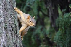 Hangin красной белки на дереве Стоковые Изображения RF
