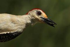 Hangin (红鼓起的啄木鸟) 库存照片