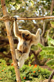 Hangin' Around. A white handed gibbon hangs from a bamboo pole Stock Images