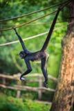 Hangin för apa för spindel för Geoffroy ` s på ett rep Arkivfoto