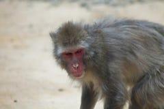 Hangin japonês do macaque para fora sido lá selfs fotografia de stock