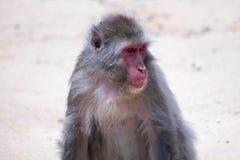 Hangin japonês do macaque para fora sido lá selfs fotos de stock