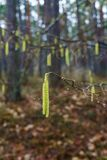 Hangin nocciola giallo dei gattini su un ramo di albero in molla in anticipo fotografia stock libera da diritti