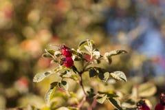 Hangin vermelho dos berrys de uma planta verde Berrys islolited e o fundo é obscuro Imagem afiada dos berrys fotos de stock royalty free