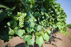 Hangind verde de la uva imagen de archivo libre de regalías