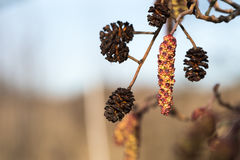 Hanging alder tree catkin and cones Stock Photography