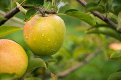 An hanging apple covered in raindrops Royalty Free Stock Images