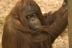 Hanging Around. This female Orang was content just to hang around Stock Photo