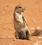 Hanging around. Squirrel in desert in Namibie looking alert and awake under hot sun Royalty Free Stock Photo