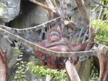 Hanging Around. Orangutan hanging in net Royalty Free Stock Photography