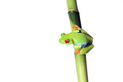 Hanging Around. Red-Eyed Tree Frog perching on bamboo and isolated on white background Royalty Free Stock Photo