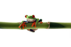 Hanging Around. Red-Eyed Tree Frog hanging from  bamboo and isolated on white background Royalty Free Stock Images