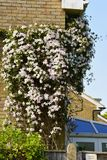 Clematis Gen; C. Hanging around on this domicile wall in a suburban area of Hampshire, England Royalty Free Stock Image
