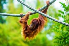 Hanging Around. An Orangutang hangs from a vine Royalty Free Stock Photos