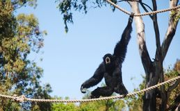 Hanging Around. A siamang monkey playing on ropes, Taronga zoo, Dubbo, New South Wales, Australia Stock Images