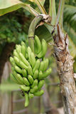 Hanging Bananas. A bunch of bananas hanging on a tree Stock Images
