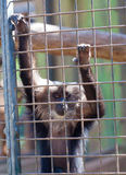 Hanging on the bars. Sad face monkey hanging on the bars of the cage Royalty Free Stock Photography