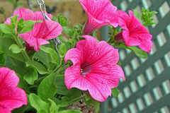 Hanging basket flowers. Photo of springtime pink petunias growing in a hanging basket with lattice trellis fence in background taken 29th may 2017 Stock Photography