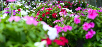 Hanging Basket with Impatiens flowers Royalty Free Stock Image