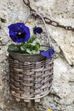 Hanging basket with a pansy Stock Photos