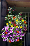 Hanging basket with Petunia, dahlia and fuchsia flowers Stock Photos